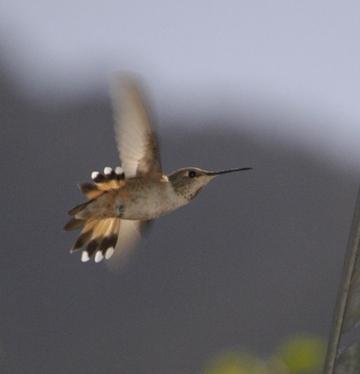 Allens hummingbird.jpg