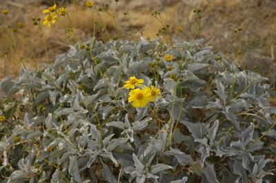 Anza flower.jpg