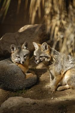 Carlsbad foxes.jpg