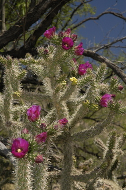 Catalina cholla flower.jpg