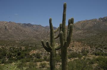 Catalina saguaro.jpg