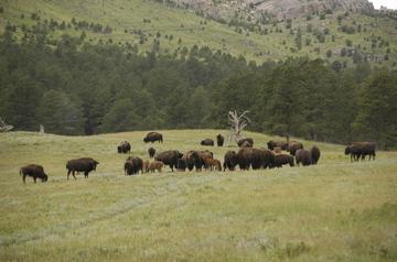 Custer buffalo.jpg