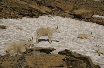 Glacier goats.jpg
