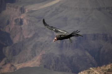 Grand Canyon condor 2.jpg
