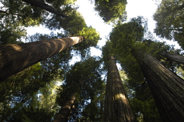 Humboldt redwoods.jpg