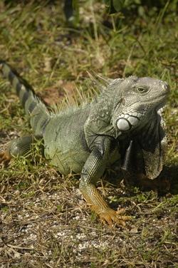 Keys iguana.jpg