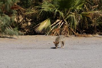 LV coyote.jpg