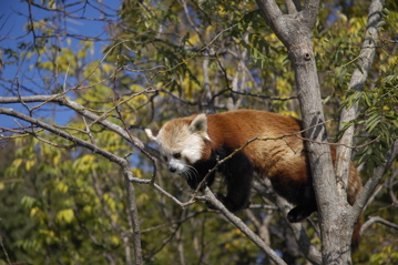 National Zoo red panda.jpg