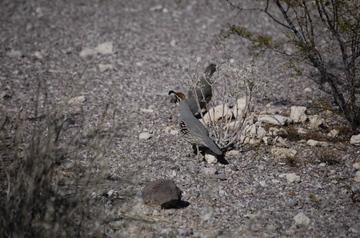 Orpi quail.jpg
