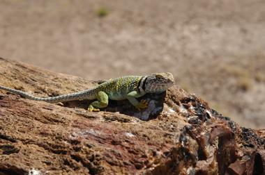 PFNP lizard.jpg