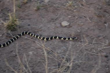 PFNP milk snake.jpg