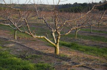 Ruston peach trees.jpg