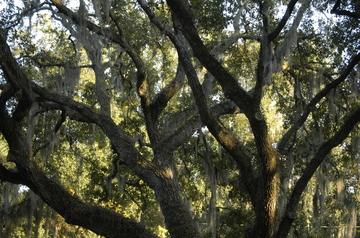 Tampa Spanish Moss 2.jpg
