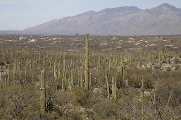 Tucson Saguaro forest.jpg