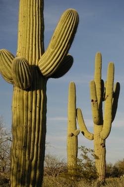 Tucson Saguaro.jpg