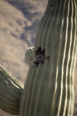 Tucson fake owl.jpg