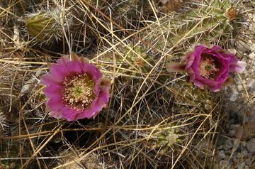 Tucson flowering 1.jpg