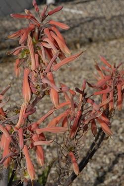 Tucson flowering 4.jpg