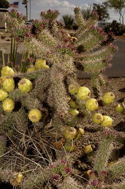 Tucson flowering 5.jpg
