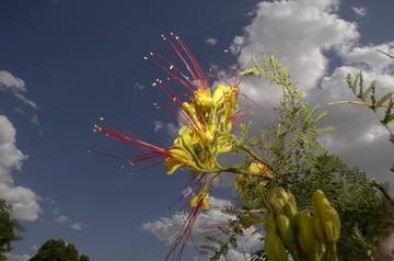 Tucson flowering 6.jpg