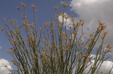 Tucson flowering 7.jpg
