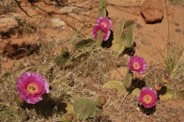 Zion cactus flowers.jpg
