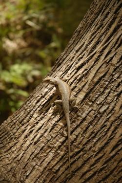 Zion lizard.jpg