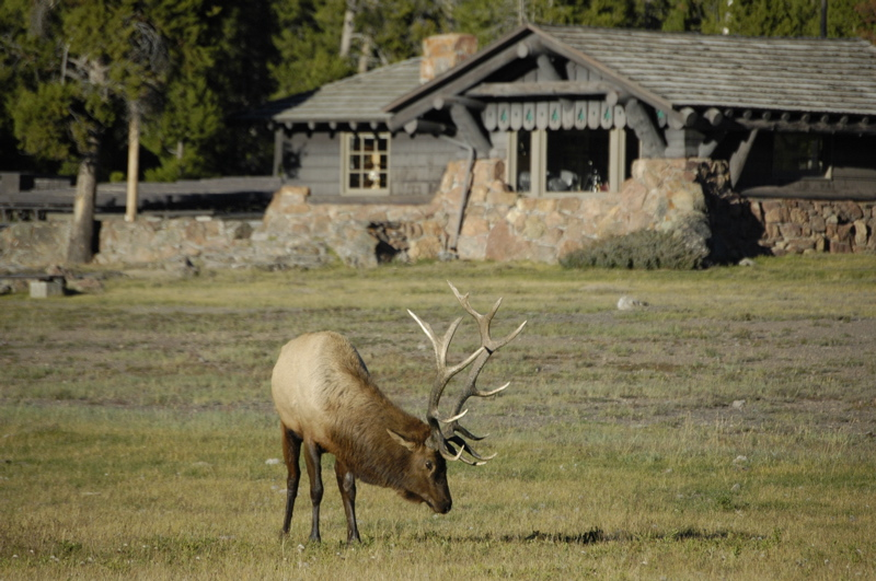 yellowstone-bull-elk.jpg
