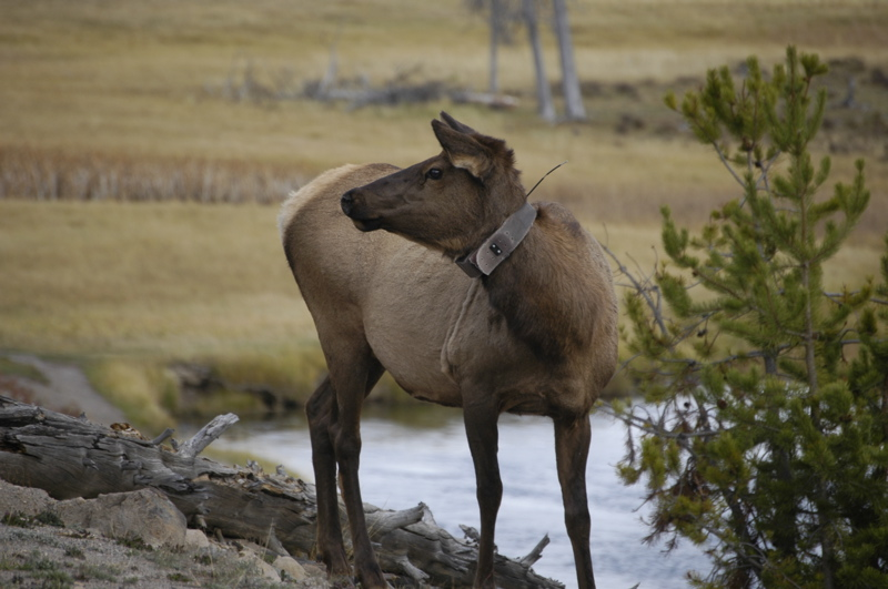 yellowstone-radio-collared-elk.jpg
