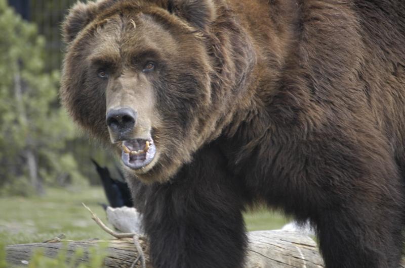 yellowstone-sam-bear.jpg