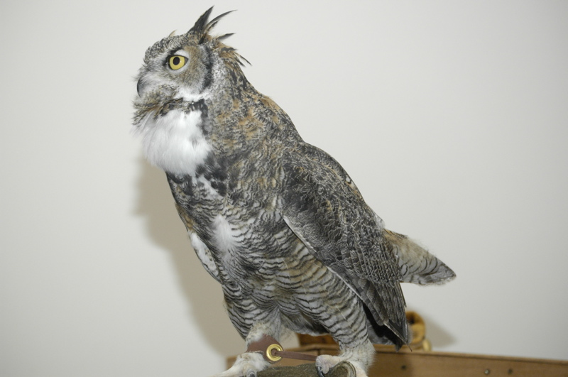 w-yellowstone-great-horned-owl-hooting.jpg