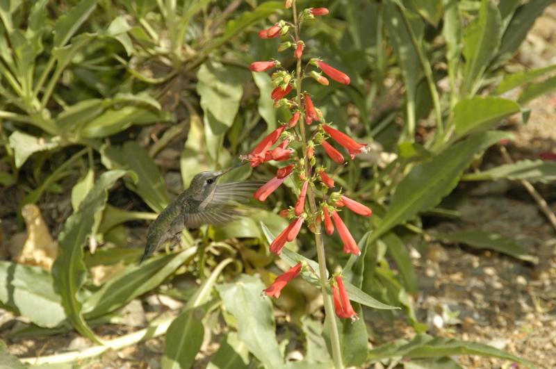 tucson-botanical-garden-hummer.jpg