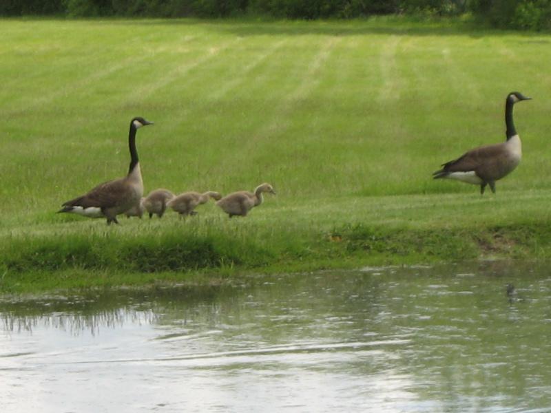new-hope-geese.jpg